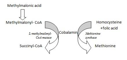 B12 Metabolism